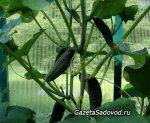 Основные ошибки при выращивании огурцов в теплице