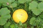 Тыква: о выращивании и целебных свойствах