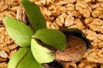 Грецкий орех. Употребление орехов способствует долголетию