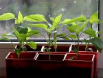 Выращивание рассады перцев в домашних условиях