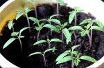 Рассада томатов. Советы опытного садовода