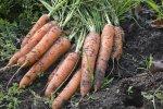 Как вырастить морковь: актуальные советы