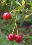 Вишня - растение, требовательное к условиям выращивания