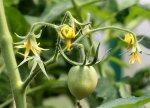 Чего не хватает огурцам и томатам?